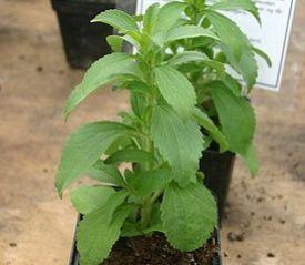 Stevia la pianta dolcificante essere sostenibili for Stevia pianta