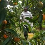Adottare un albero di agrumi contro il caporalato